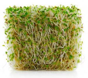 Проростки люцерны